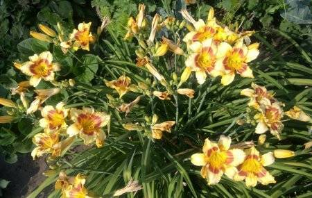 Лилейник: выращивание в саду, виды и сорта