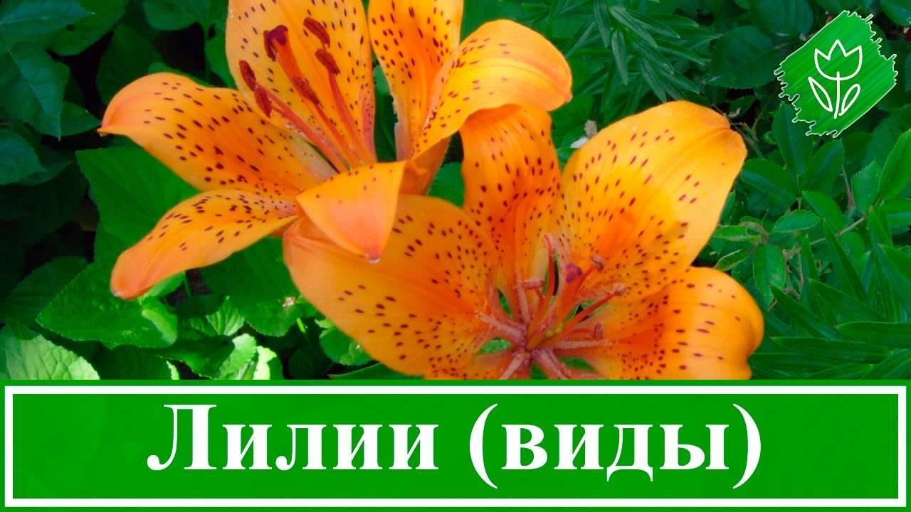 Древовидная лилия: обзор сортов, посадка, уход и размножение