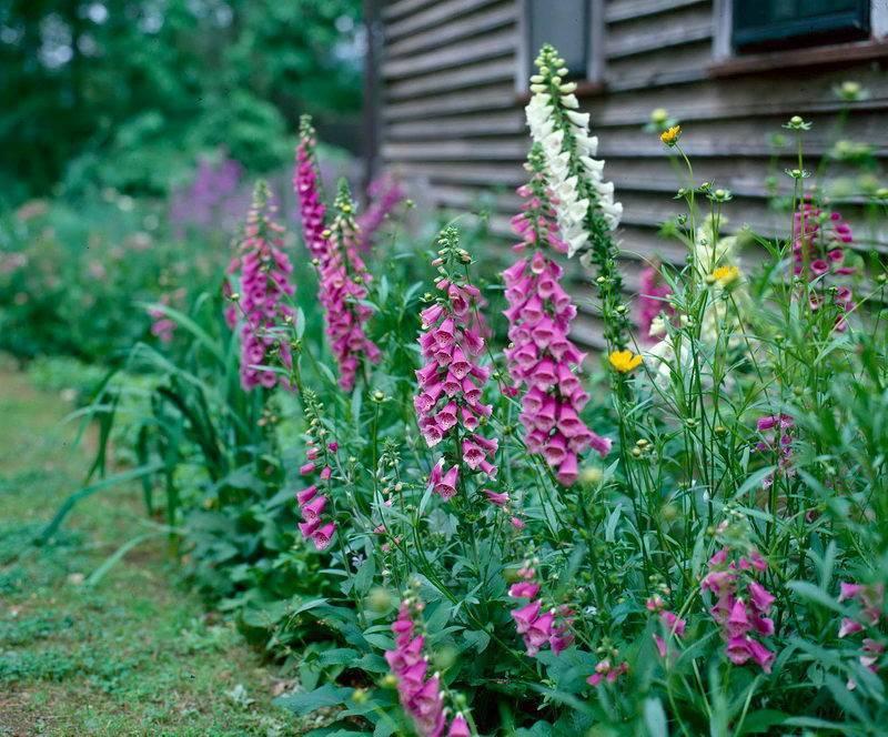 Наперстянка пурпурная: особенности выращивания и применение