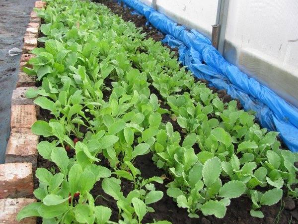 Посадка редиса под зиму: получаем витаминный урожай ранней весной