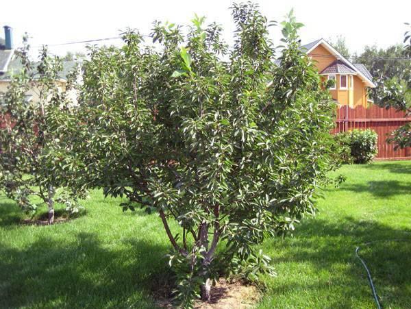 Описание, характеристика и выращивание вишни сорта шоколадница