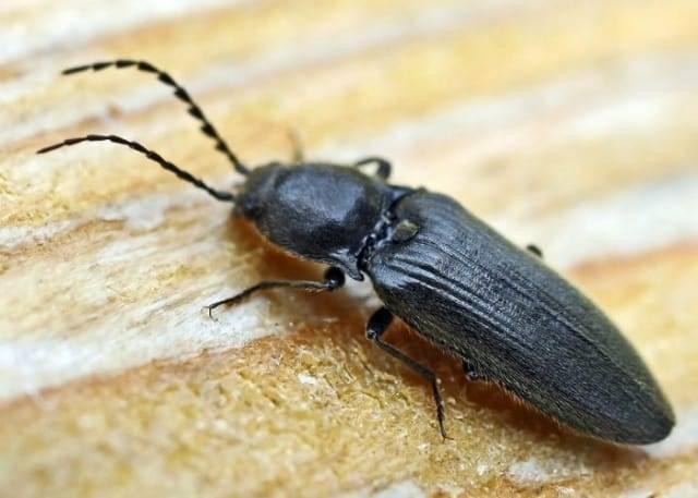 Жуки-щелкуны — опасные вредители из отряда жесткокрылых