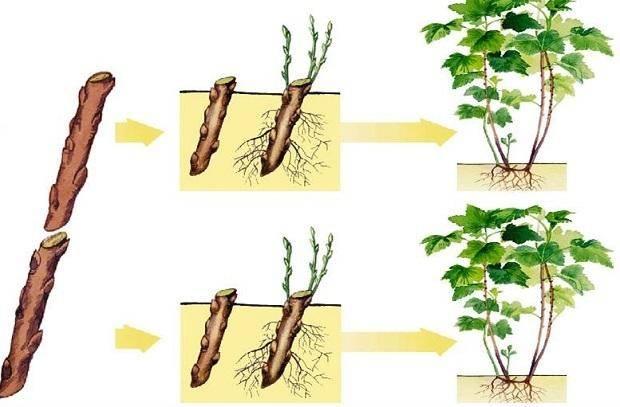 Черенкование смородины весной. как укоренить смородину в банке