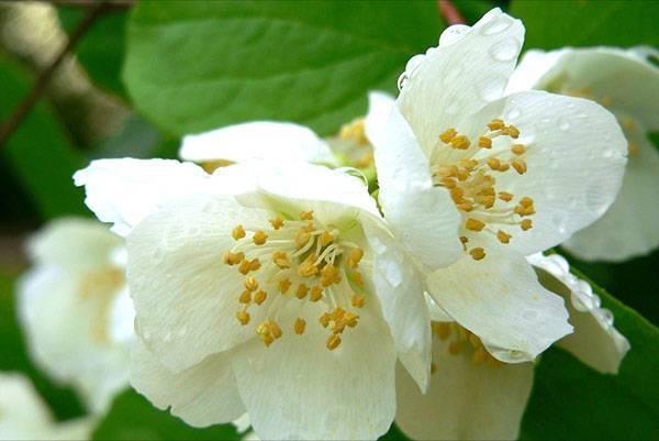 Цветок анафалис: описание, посадка и уход