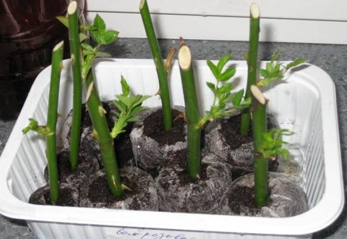 Особенности черенкования роз – вторая жизнь букета