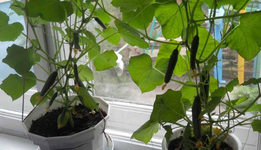 Свежие огурцы зимой на подоконнике: что нужно для выращивания овоща в домашних условиях?