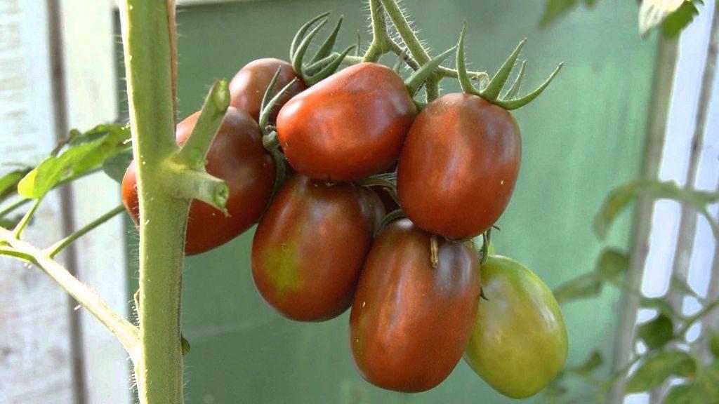 Устойчивые к фитофторозу сорта томатов – какие сажать в теплице?