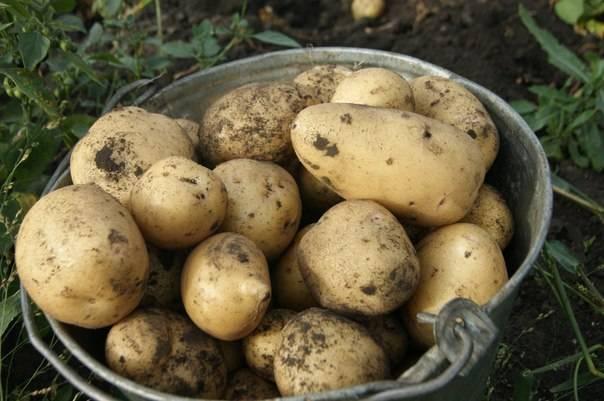 Сроки, сколько растет и созревает картофель от посадки до сбора урожая?