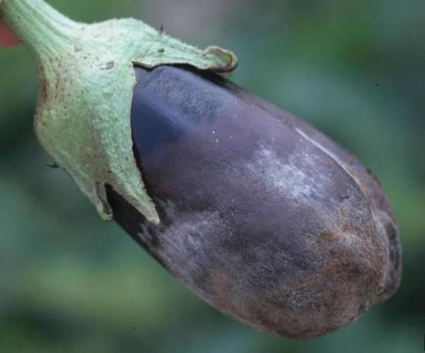 Выясняем причины почему у рассады баклажанов скручиваются листья и принимаем меры по борьбе с этим