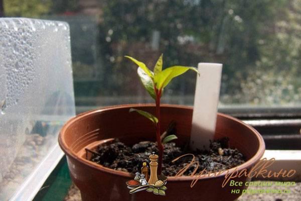 Размножение лавра черенками – интересное занятие для садоводов