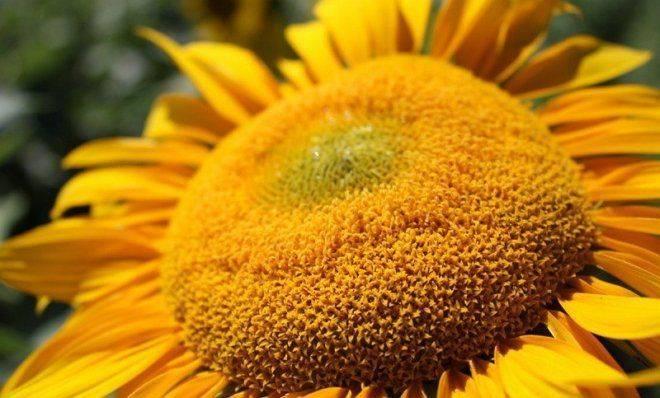 Подсолнечник бузулук: описание сорта, выращивание, видео