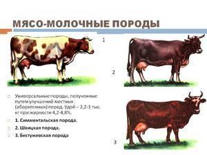 Топ-15 лучших пород коров