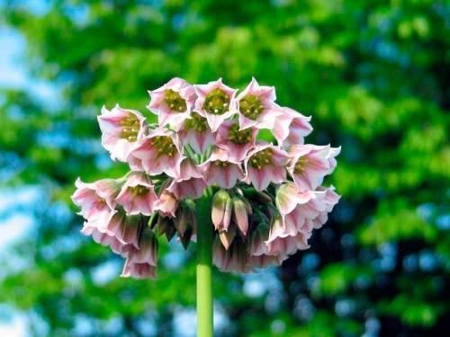 Нектароскордум: виды, выращивание на участке