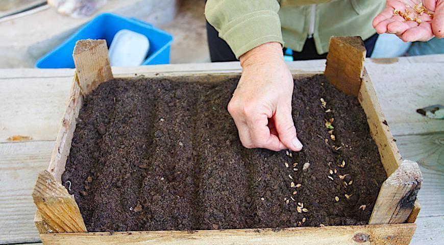 Как правильно вырастить тую из семян в домашних условиях?