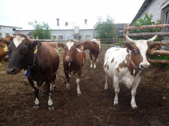 Породы коров: описание, список лучших, советы по выбору и обзор самых продуктивных пород коров (135 фото)