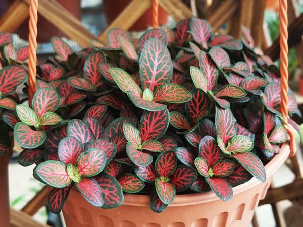 Что нужно знать цветоводам-любителям о выращивании тропической фиттонии