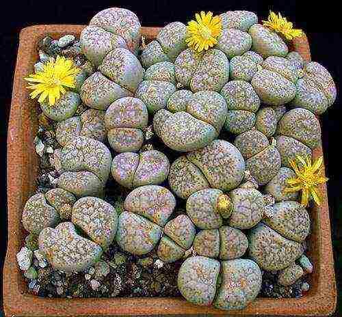 Как заставить зацвести камень? или уход и содержание «живых камней»