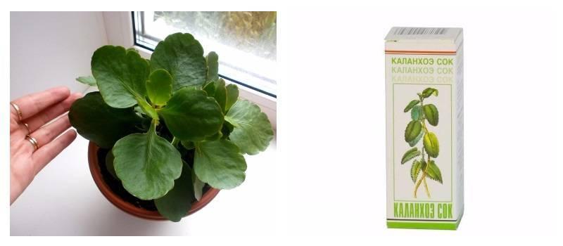 Вместо таблеток — каланхоэ. применение растения в лечебных целях