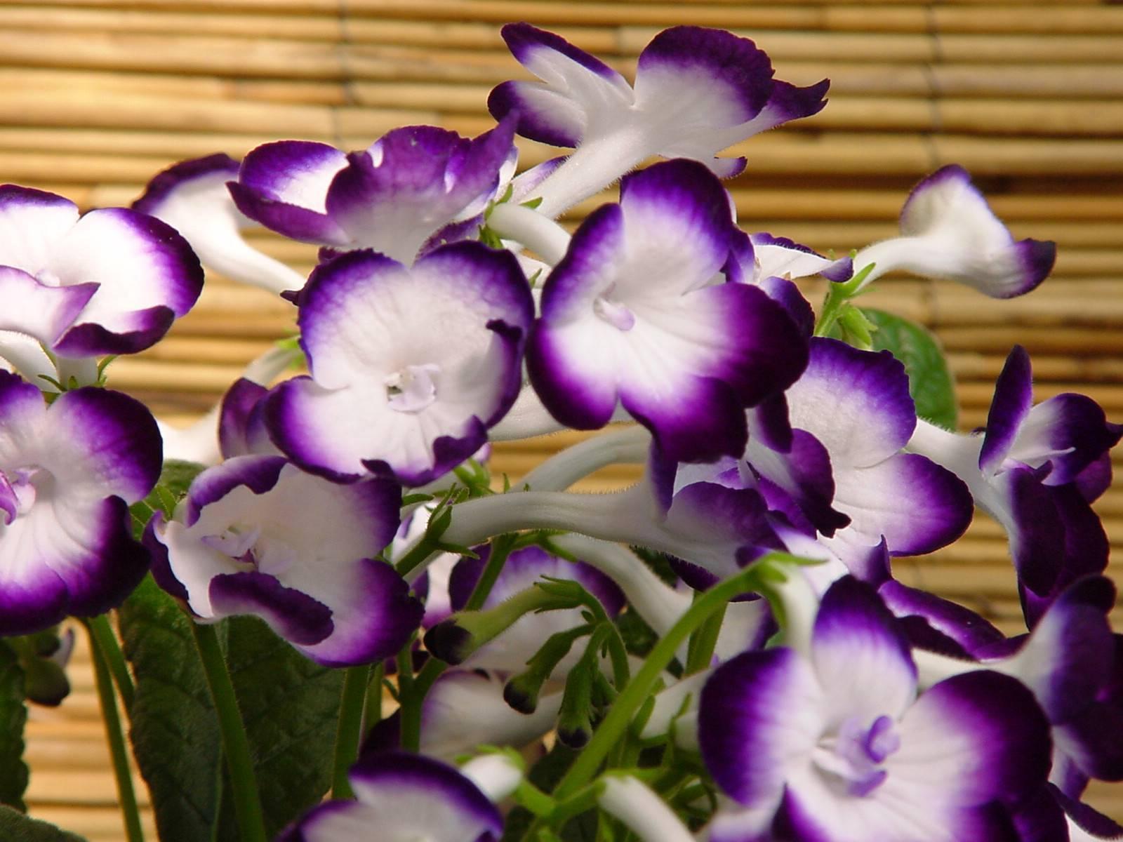 Ахименес — уход и выращивание цветка в домашних условиях ?