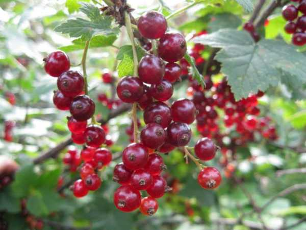 Смородина красная сахарная: описание сорта