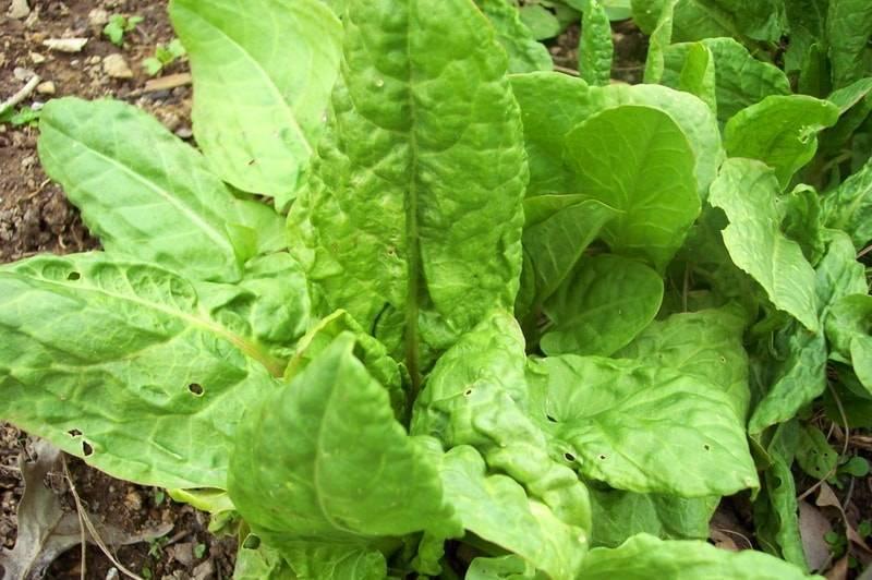 Щавель: когда и как сажать семенами в открытый грунт весной, летом и под зиму, уход и обработка от вредителей