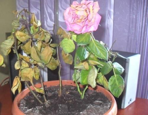 Спасаем розу в горшке от усыхания