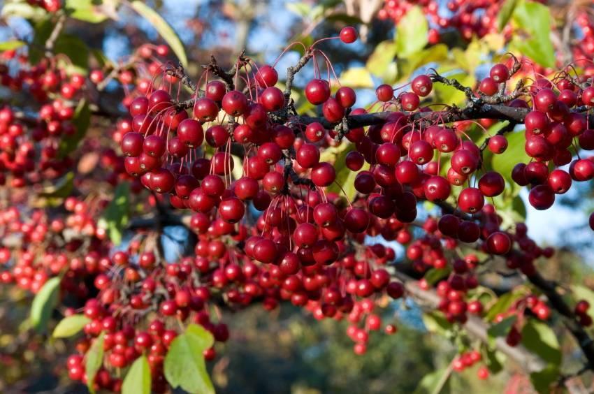 Особенности аронии красной, описание, выращивание