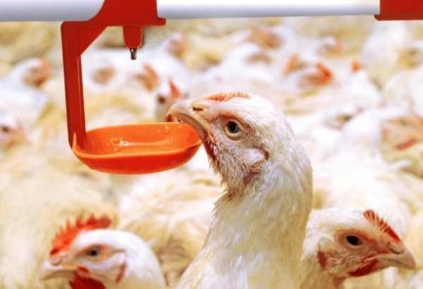Инструкция по применению байкокса для цыплят на частном подворье