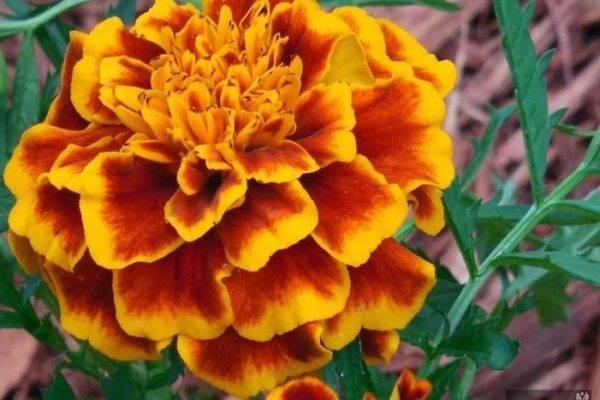 Выращиваем бархатцы на даче для красоты и пользы
