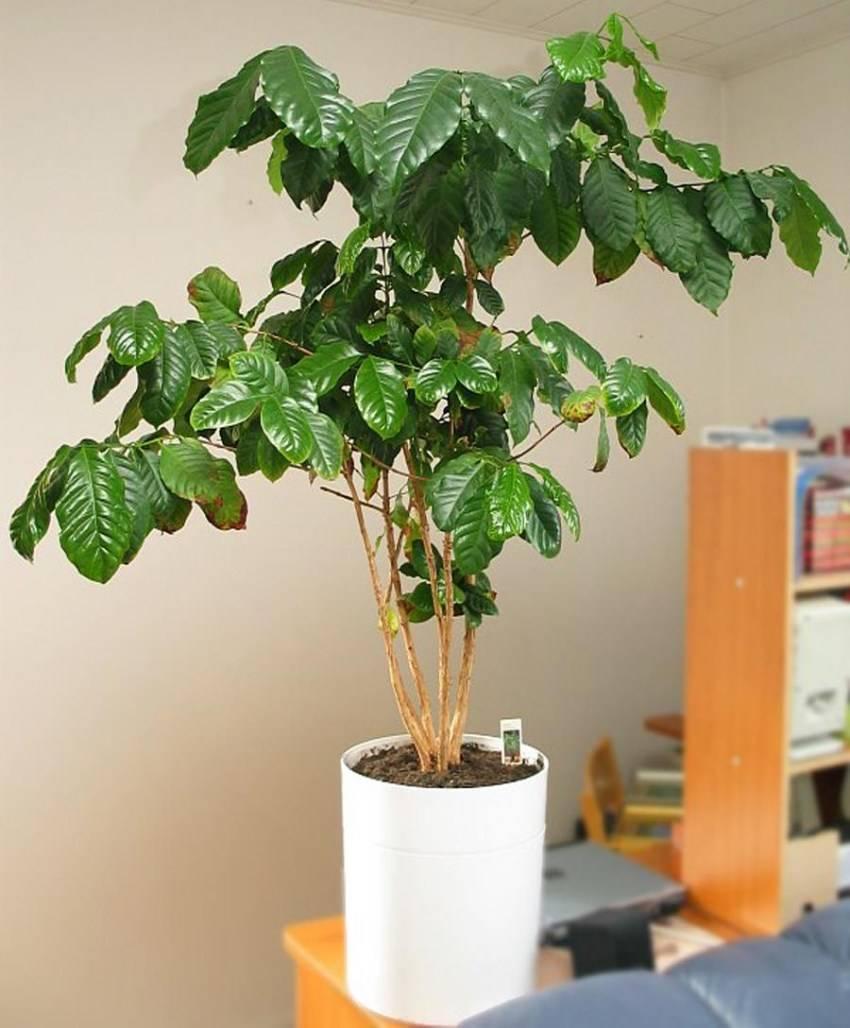 Кофейное дерево: уход и выращивание комнатного цветка дома