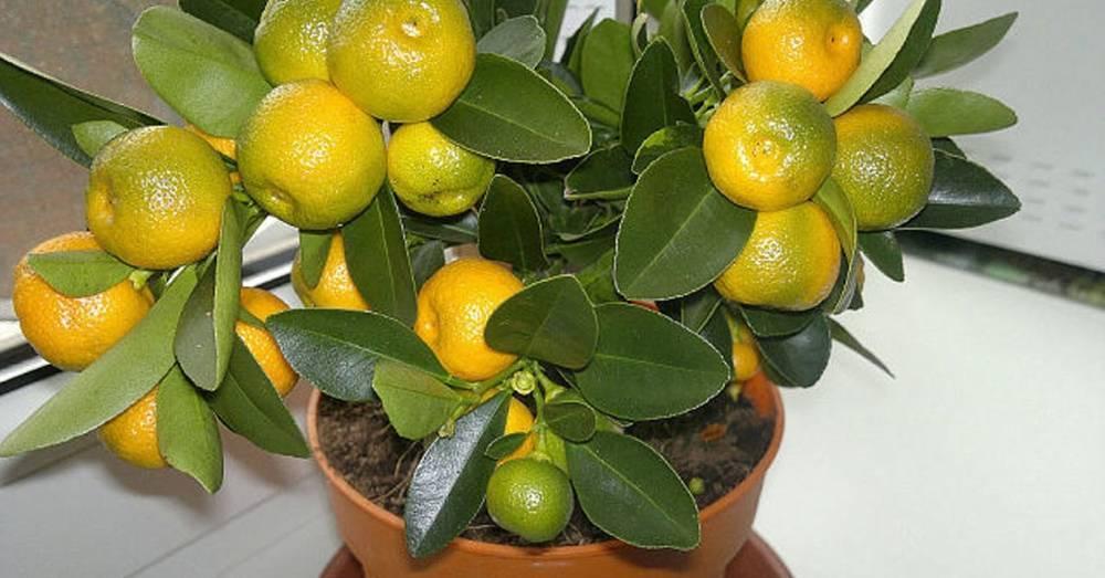 Выращиваем мандарин из косточки в домашних условиях