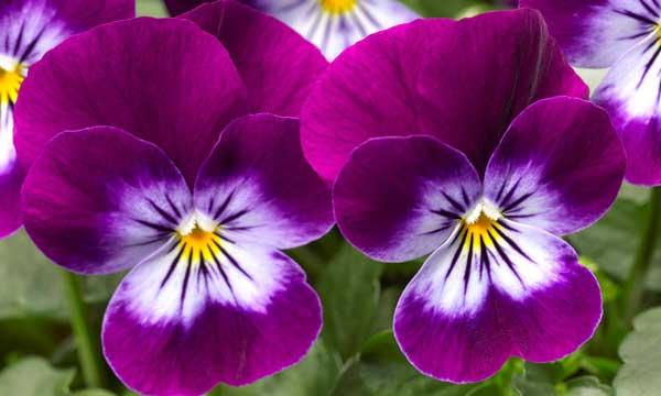 Виола: выращивание из семян, когда сажать на рассаду