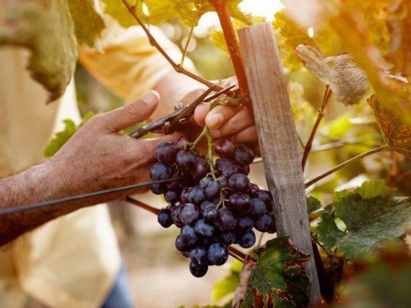 Как размножать виноградный куст методом отводки