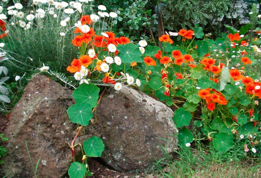 Выращивание и уход неприхотливой настурции