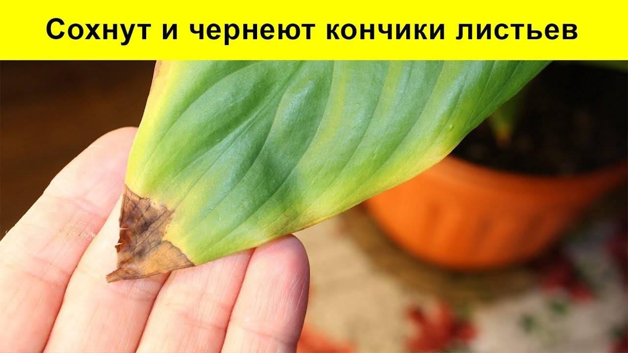 У спатифиллума чернеют и желтеют листья:почему и что делать