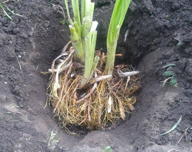 Как посадить и вырастить лилейники