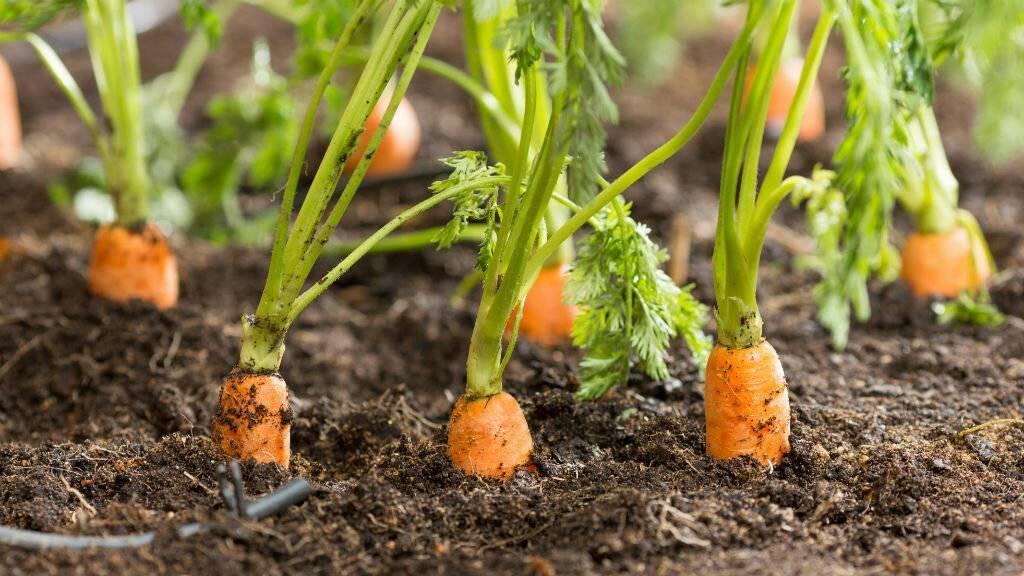 Правила севооборота: что посадить после картофеля