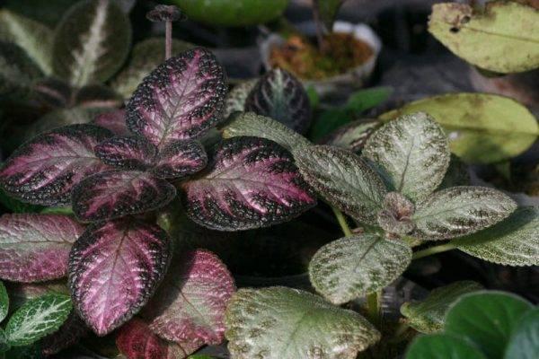 Уход в домашних условиях за комнатным растением — церопегия
