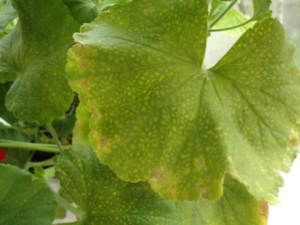 Желтеют листья у пеларгонии: почему это происходит, и что делать, чтобы устранить проблему?