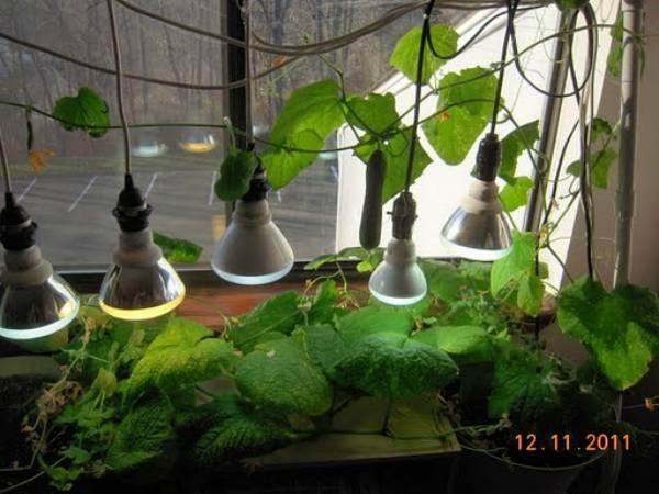 Выращивание огурцов на подоконнике зимой