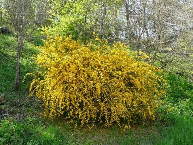 Калужница: выращивание и уход в саду