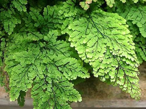 Декоративный кактус опунция мелковолосистая. описание и особенности ухода, фото растения