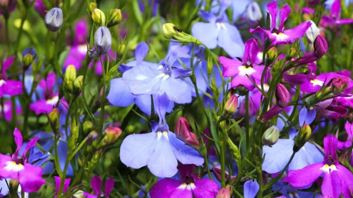 Зверобой: характеристика, выращивание и уход
