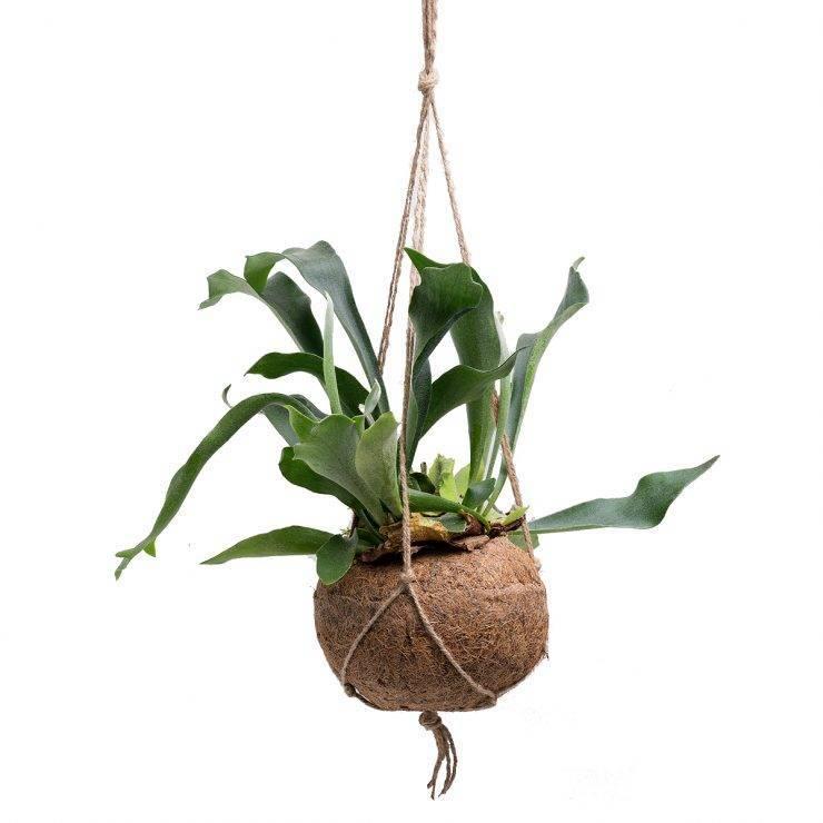 Платицериум виды с фото, уход за комнатным растением