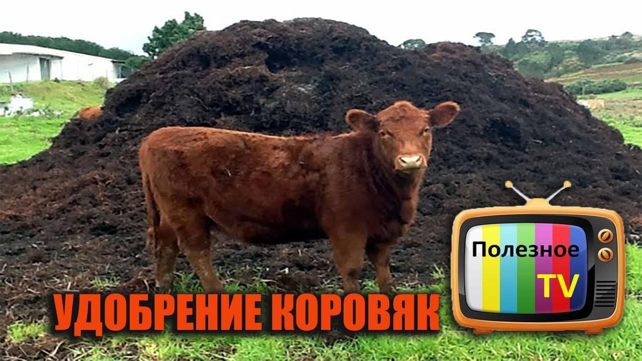 Удобрение коровяк, виды удобрения, способы внесения