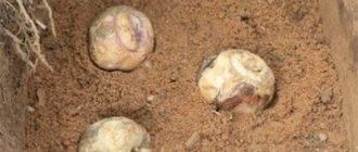Выращивание и уход за рябчиком персидским