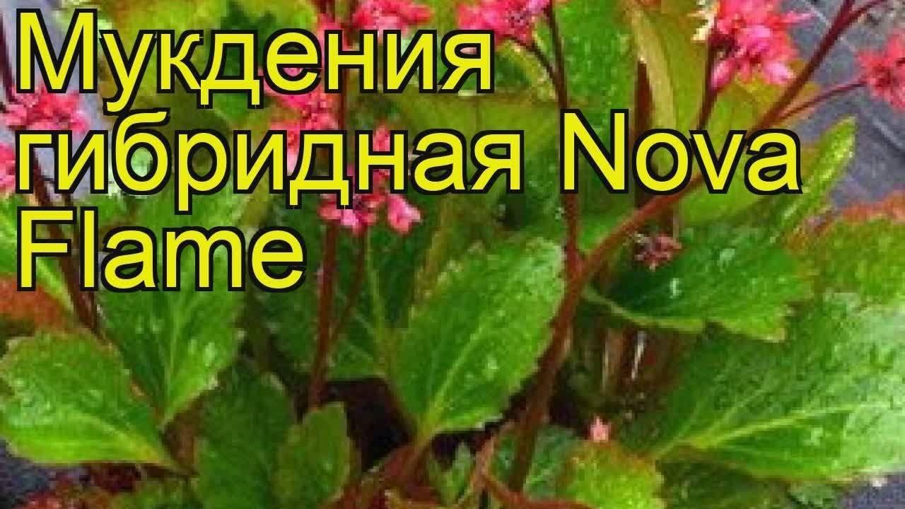 Красный клен: сорта и рекомендации по выращиванию