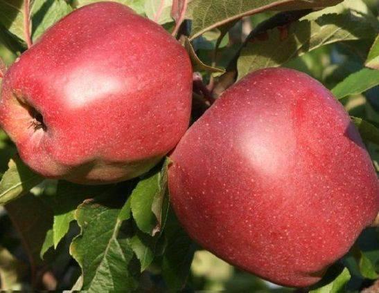 Яблоня глостер: особенности сорта и ухода
