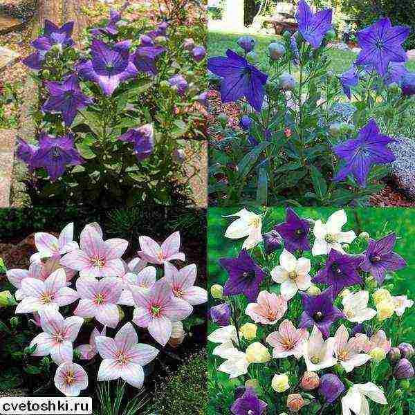 Платикодон выращивание из семян когда сажать посадка и уход в открытом грунте фото цветов