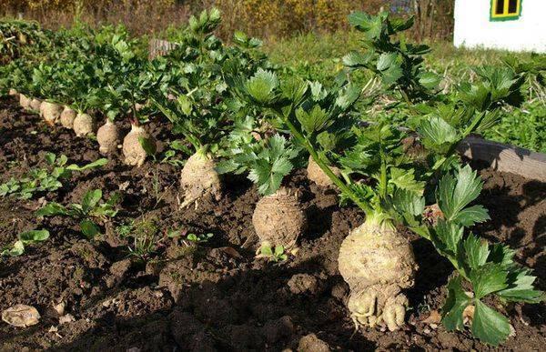 Сельдерей корневой: выращивание и уход